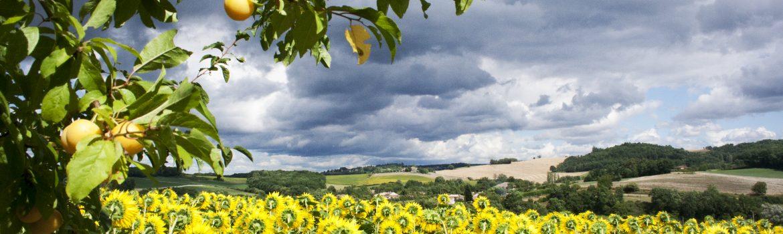 Castelnau-de-Montmiral-Prunes-et-Tournesols-©IsabelleFraysse
