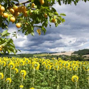Prunes et Tournesols – Castelnau de Montmiral (Tarn) 20x30cm