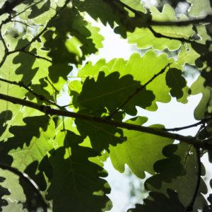Feuilles de chênes dans la Forêt de Bouconne-©IsabelleFraysse