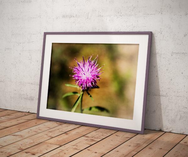 Fleur de petit chardon - cadre horizontal