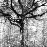 Grand chêne Forêt de Bouconne-31