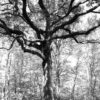 Grand chêne de la Forêt de Bouconne-31-©IsabelleFraysse