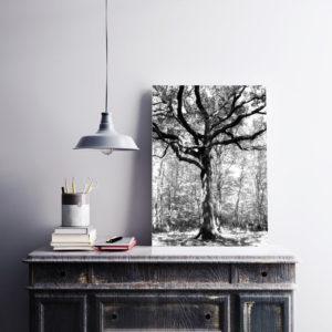 Grand chêne – Forêt de Bouconne (Haute-Garonne) 40x60cm